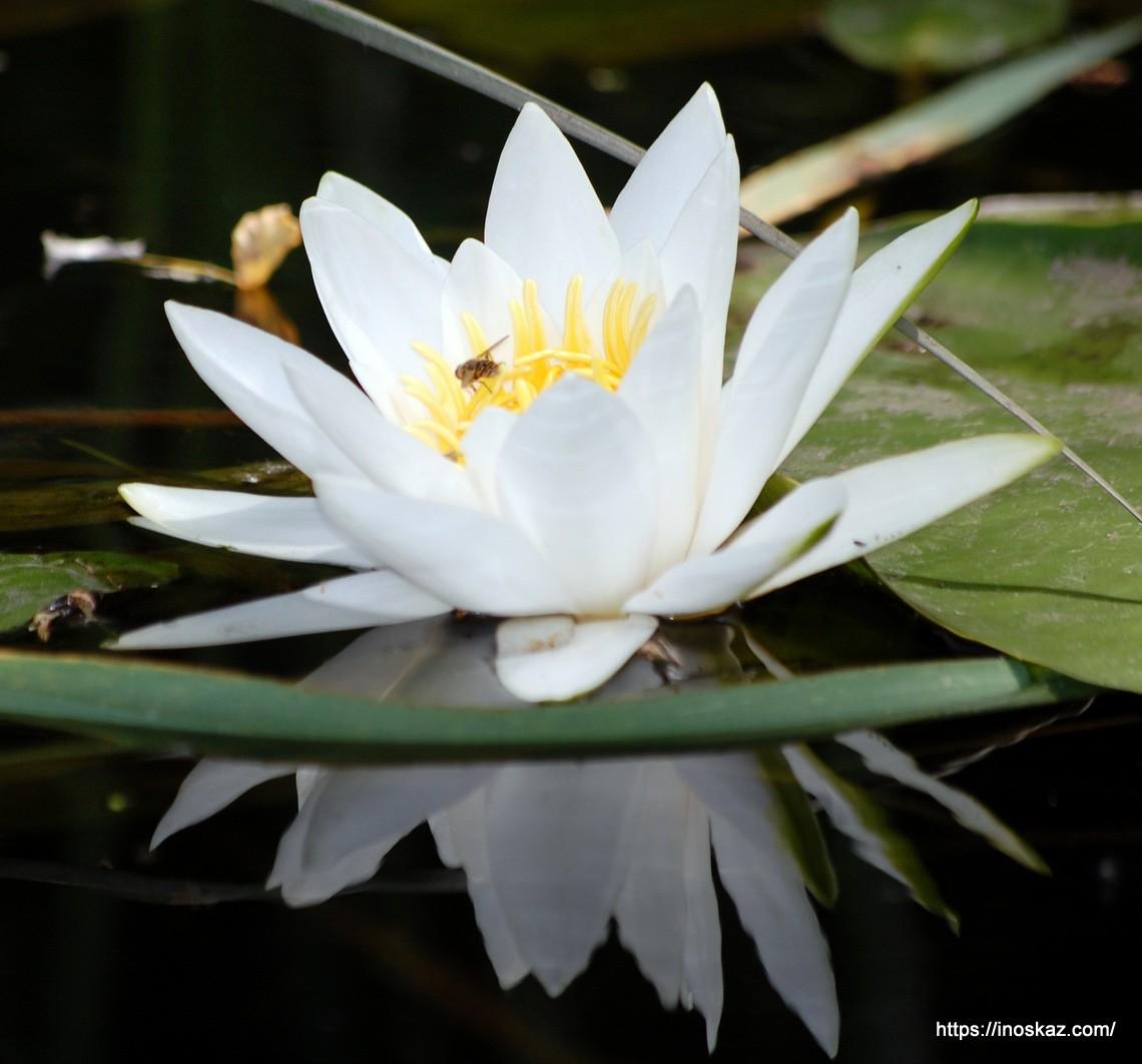 Водяная лилия. Легенда о лилии