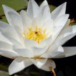 Легенда о водной лилии