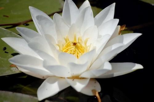 Легенда о лилии