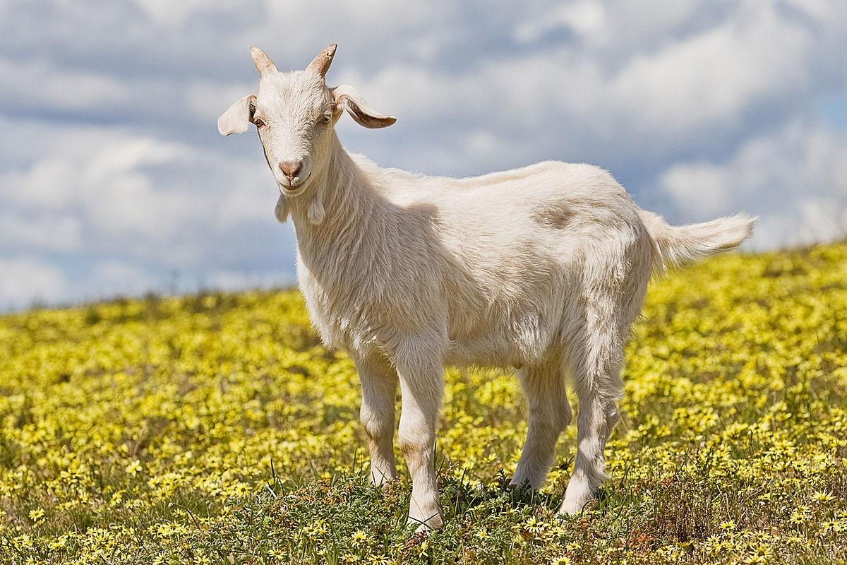 Притча Купи козу